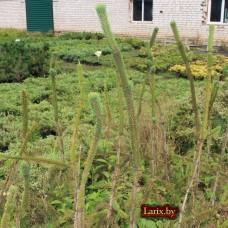 Ель обыкновенная Virgata (Picea abies) С3