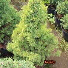 Ель сизая Daisy's White (Picea glauca) С3