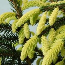Ель восточная Ауреоспиката (Picea orientalis Aureospicatа) C5