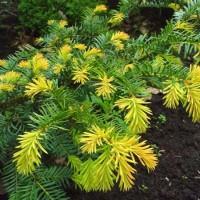Ель восточная Summergold (Picea orientalis) С5