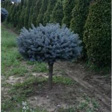Ель колючая Глаука Глобоза (Picea pungens Glauca Globosa) С5 на штамбе