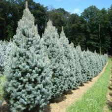 Ель колючая Iseli Fastigiate (Picea pungens) С7,5