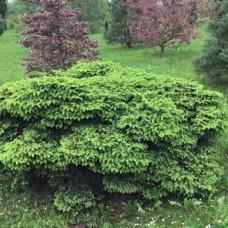 Ель обыкновенная Nidiformis (Picea abies) С3