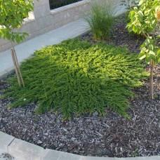 Можжевельник горизонтальный Prince of Wales (Juniperus horizontalis) С3стелющийся кустарник, 30-40 см диаметр