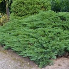 Можжевельник казацкий (Juniperus sabina) С5 стелющийся кустарник, 60-70 см диаметр