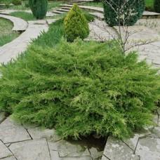 Можжевельник Пфитцериана Pfitzeriana (Juniperus x media Pfitzeriana) р9 сорт кустовидной формы, 15-20 см диаметр