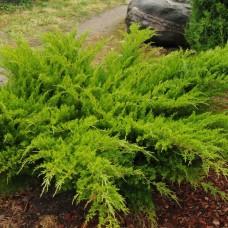 Можжевельник средний Mint Julep (Juniperus x pfitzeriana) р9 большой кустарник, 15-20 см диаметр