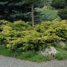 Можжевельник средний Old Gold (Juniperus x media) C5 раскидистый кустарник, 50-60 см диаметр