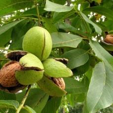 Грецкий орех вес плодов около 10,4г