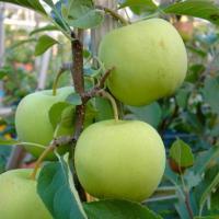 Яблони осенние