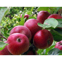 Яблони летние