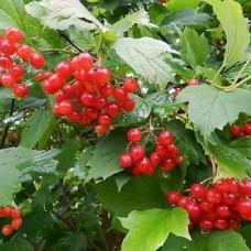 Калина Киевская садовая 2 вес плода 0,6-0,8г