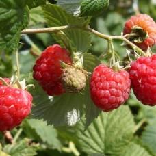 Малина Октавия вес ягоды 5-6г.