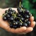 Смородина черная Изюмная вес ягоды от 2 до 3г.