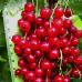 Смородина красная Фертоди вес ягоды от 0,5 до 0,6г.