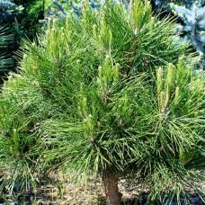 Сосна чёрная австрийская Спилберг (Pinus nigra Spielberg) C5