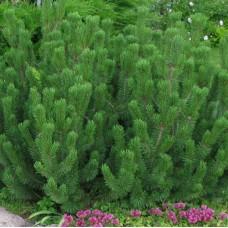 Сосна горная Gnom (Pinus mugo) С2 шаровидная форма кроны, 30-40см высоты