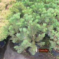 Сосна горная Gnom (Pinus mugo) С3