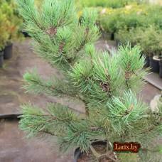 Сосна горная Gnom (Pinus mugo) С7,5
