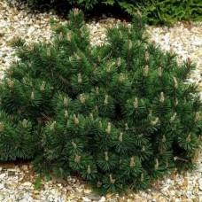 Сосна горная Хампи (Pinus mugo Humpy) C2