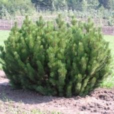 Сосна горная (Pinus mugo var. pumilio) РР2