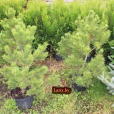 Сосна горная Winter Gold (Pinus mugo) С10