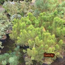 Сосна горная Winter Gold (Pinus mugo) С5