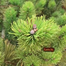 Сосна горная Winter Gold (Pinus mugo) С3