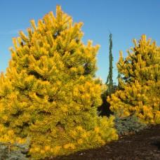 Сосна обыкновенная Anna Aurea (Pinus sylvestris) С5