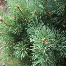 Сосна обыкновенная Аргентеа Компакта (Pinus sylvestris Argentea Compacta) С5