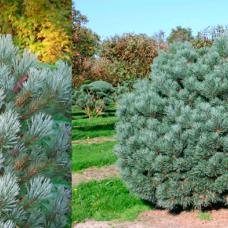 Сосна обыкновенная Watereri (Pinus sylvestris) С15
