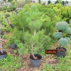 Сосна скрученная Contorta (Pinus contorta) С10