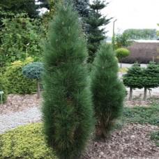 Сосна черная Грин Тауэр (Pinus nigra Green Tower) С3 медленнорастущий сорт, 40-45см высоты
