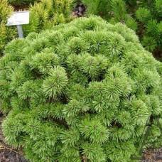 Сосна горная Алгау (Pinus mugo Allgau) С2