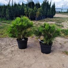 Сосна густоцветковая Лоу Глоу (Pinus densiflora Low Glow) С3