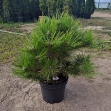 Сосна густоцветковая Лоу Глоу (Pinus densiflora Low Glow) С3 сорт округлой формы, 40-45см
