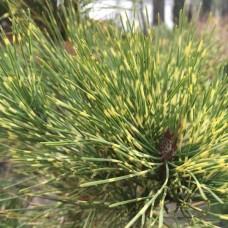 Сосна густоцветковая Окулюс Драконис (Pinus densiflora Oculus Draconis) С5