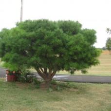 Сосна густоцветковая Умбракулифера (Pinus densiflora Umbraculifera) С7,5
