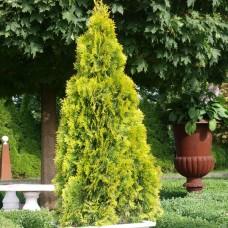 Туя западная Голден Смарагд (Thuja occidentalis Golden Smaragd) р9