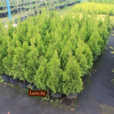 Туя западная Smaragd Light (Thuja occidentalis) C2