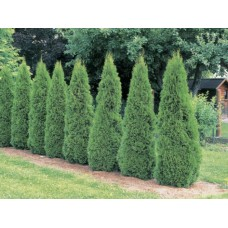 Туя западная Smaragd (Thuja occidentalis) C3