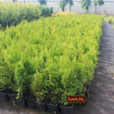 Туя западная Smaragd (Thuja occidentalis) P9