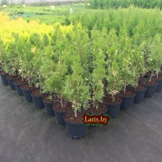 Туя западная Smaragd Variegata (Thuja occidentalis) С2