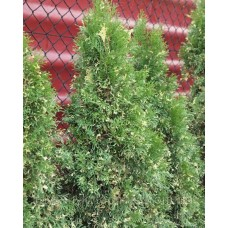 Туя западная Smaragd Variegata (Thuja occidentalis) C3