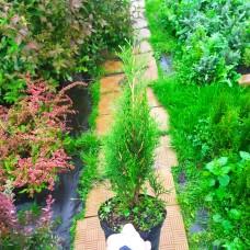 Туя западная Smaragd (Thuja occidentalis) С2 40-45см