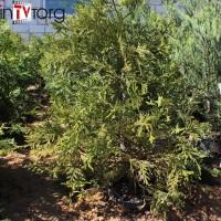 Туевик долотовидный Variegata (Thujopsis dolabrata) С7,5