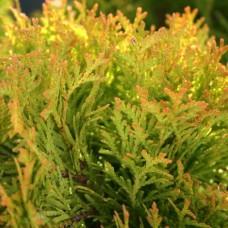 Туя западная Амбер Глоу (Thuja occidentalis Amber Glow) p9