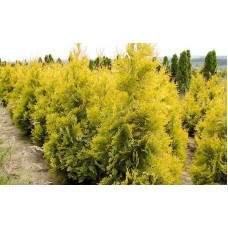 Туя западная Aurescens (Thuja occidentalis) С35