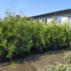 Туя западная Brabant (Thuja occidentalis) С35