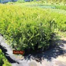 Туя западная Frieslandia (Thuja occidentalis) С5